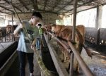 Yuan sons help clean the cattle barn