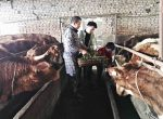 Yuan sons help feed the heifers with their father